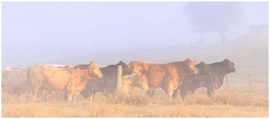 Moo morning cows on farm photo print
